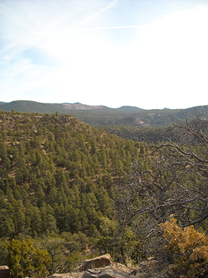 Evergreen trees, dead tree branches and orange Gambrel Oak in the Santa Fe National Forest