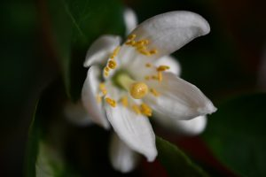 Lemon blossom, close up: a sign of December